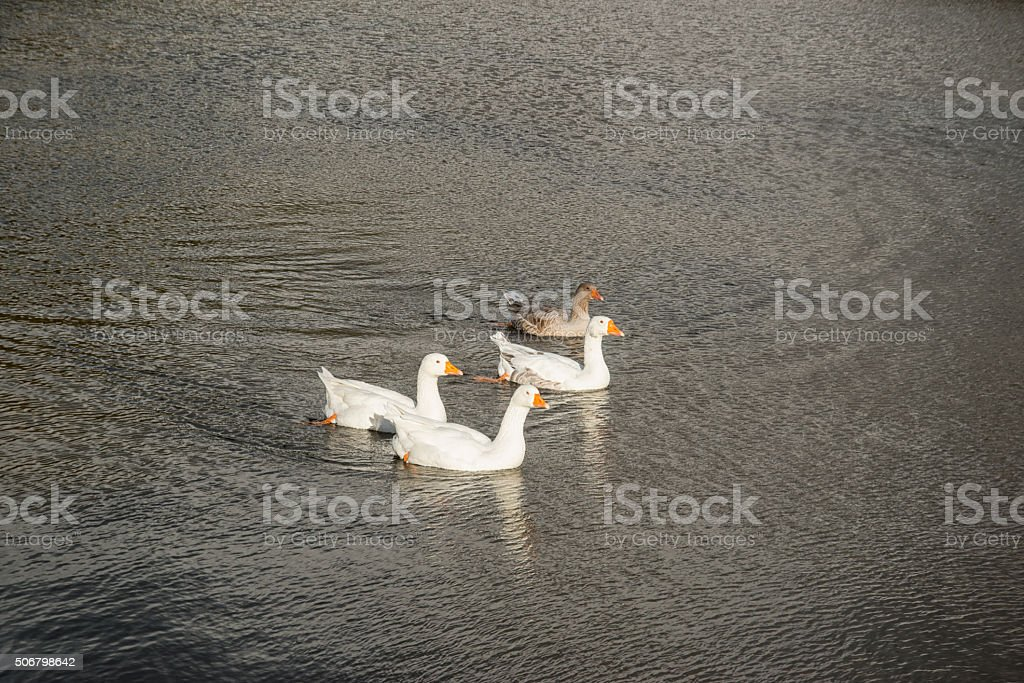 Three white geese and one brown swimming stock photo