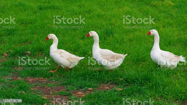 Photo of three white geese walking in a row on background green grass of Sicily animal farm