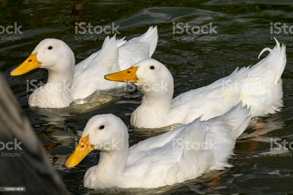 Three white heavy ducks - American Pekin also known as the Aylesbury or Long Island duck stock photo
