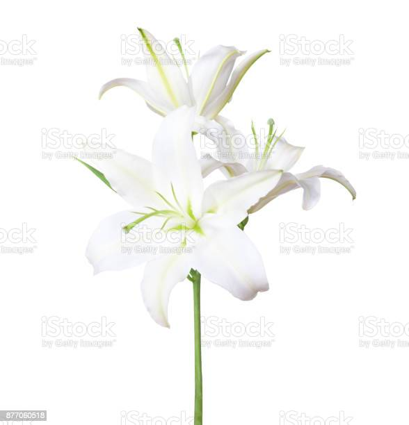 Three white lily isolated on white background picture id877060518?b=1&k=6&m=877060518&s=612x612&h=vez4yxeve9dyawcdkczbygaftwvy54jr5qoqug5xgbk=