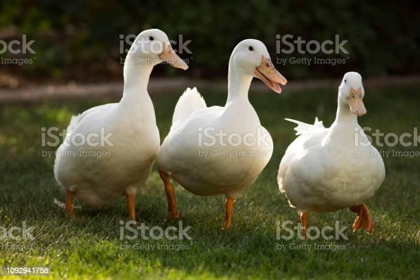Photo of Three White Pekin Ducks