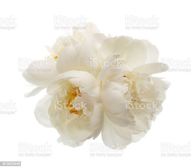 Three white peony flowers picture id613520446?b=1&k=6&m=613520446&s=612x612&h=lobyped6idmelhme8v0w4qizlck tyrebq28knmxh0k=