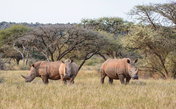 Trois rhinocéros blanc - Photo