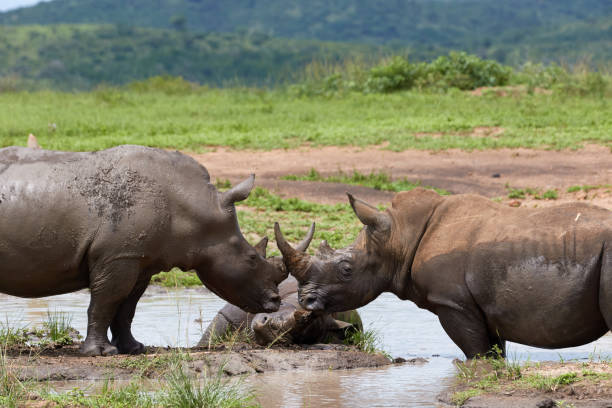Three white rhinos taking a bath stock photo