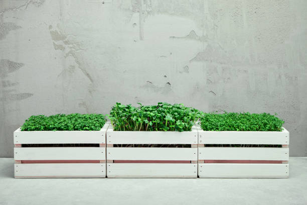 Three white wooden boxes with microgreens. The concept of home gardening and growing greenery indoors stock photo