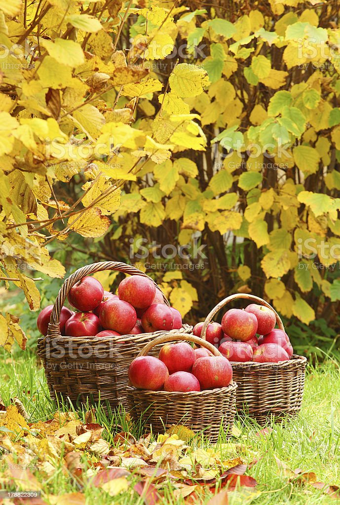 Three wicker baskets filled with fresh red apples stock photo