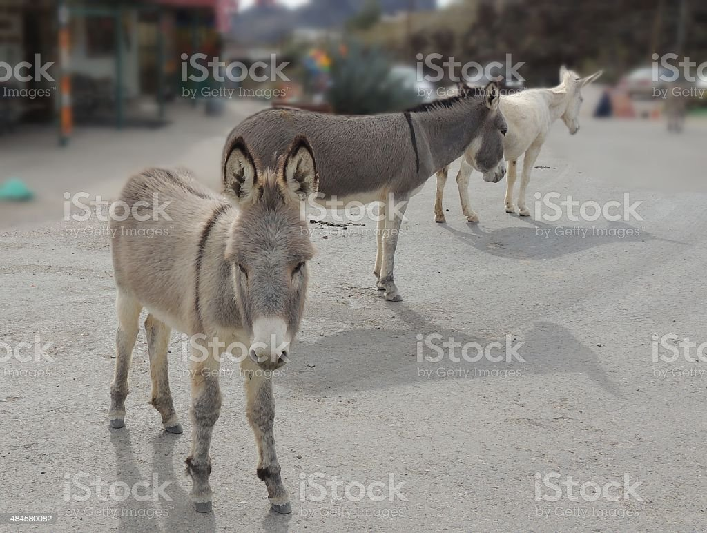 Three wild burros stock photo