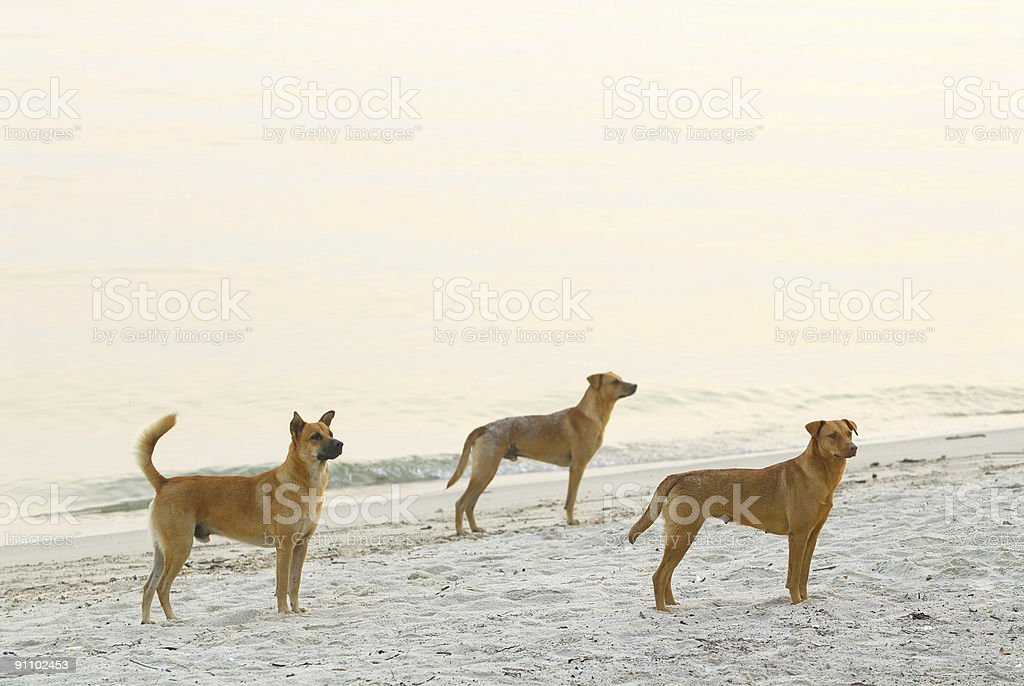 Three wild dogs at the beach during sunrise royalty-free stock photo