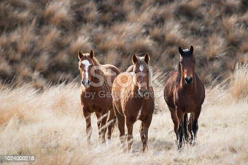 Three wild Kaimanawa horses standing on the tussock grass, New Zealand