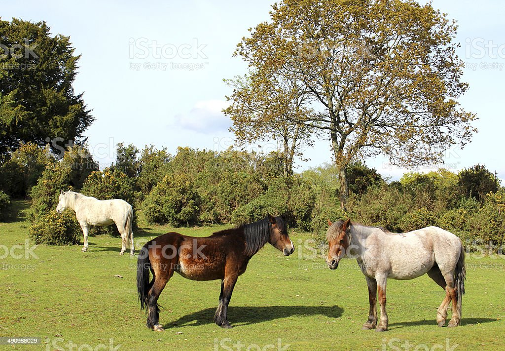Three wild New Forest ponies with two horses in foreground stock photo