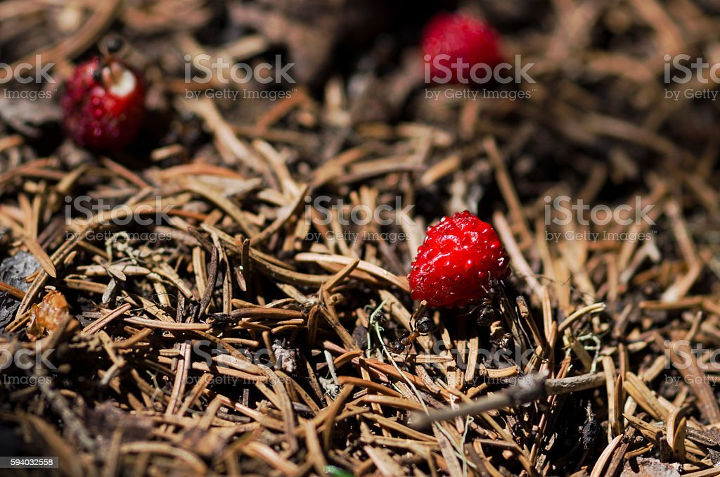 Three wild strawberries and some ants in an anthill stock photo