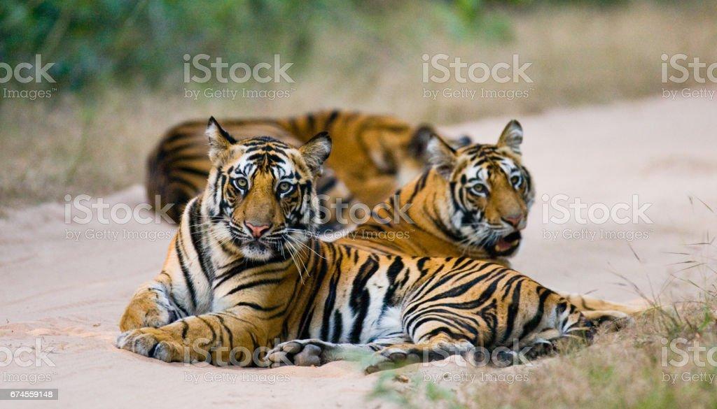 Three wild tiger in the jungle. stock photo