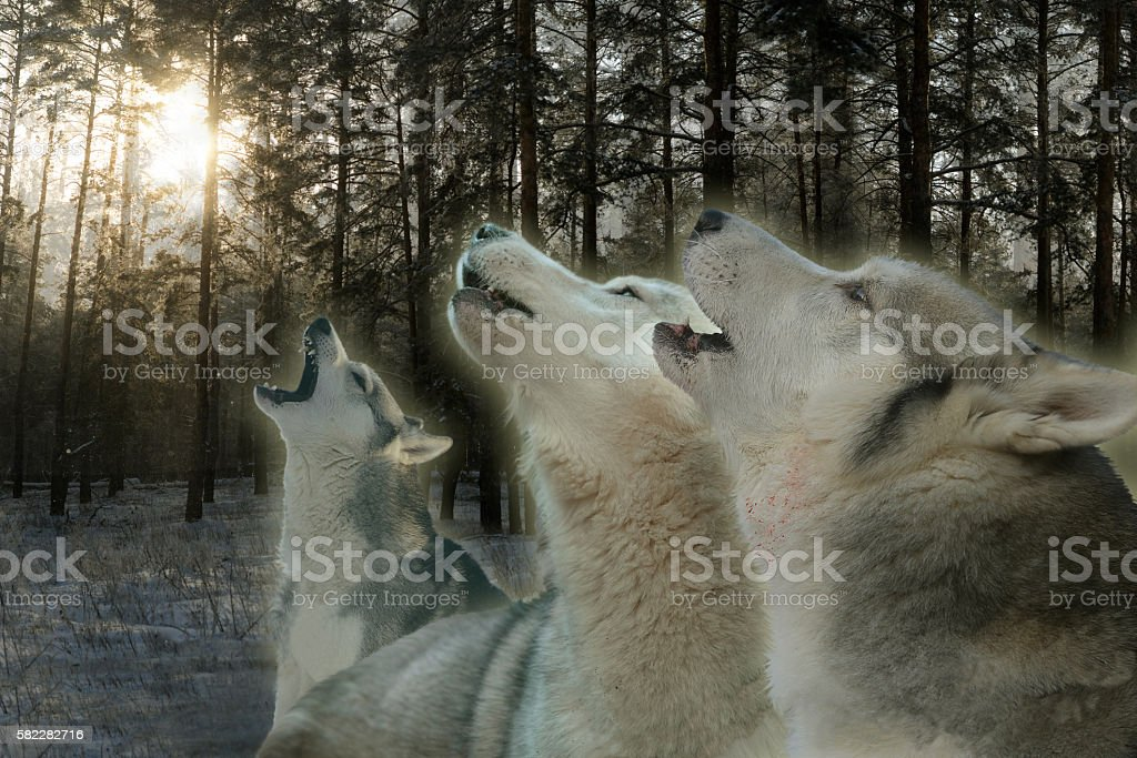 three wolves howling in the winter forest stock photo