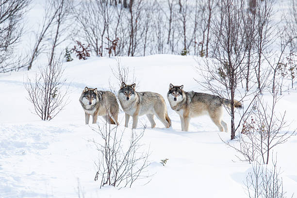 Three Wolves in the Snow stock photo