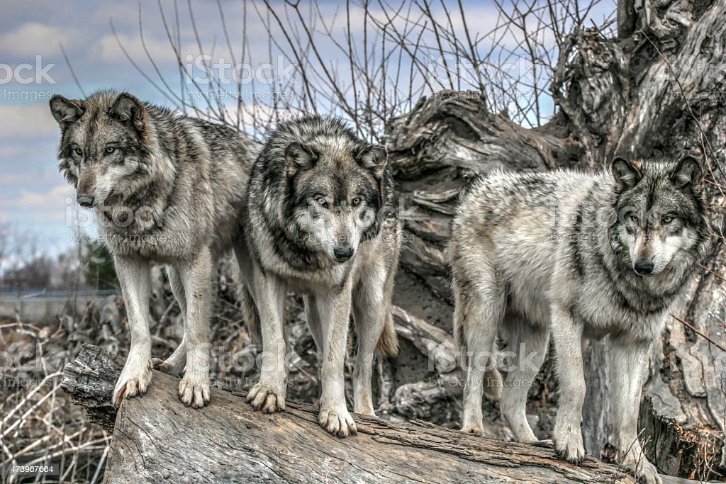 Three wolves standing on a log stock photo