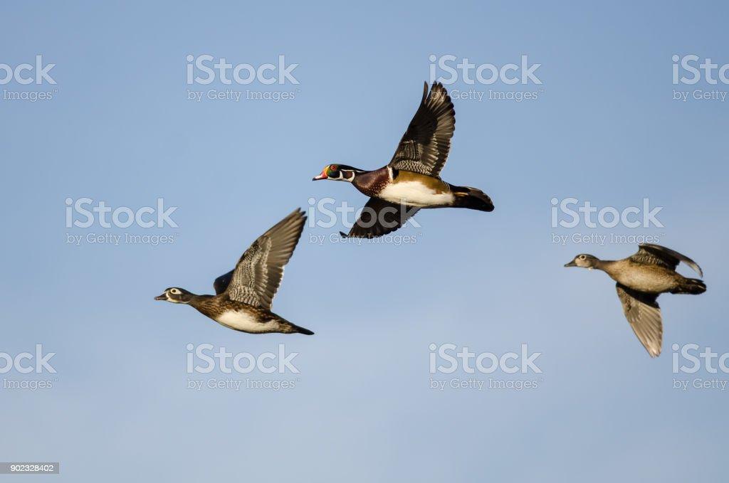 Three Wood Ducks Flying in a Blue Sky