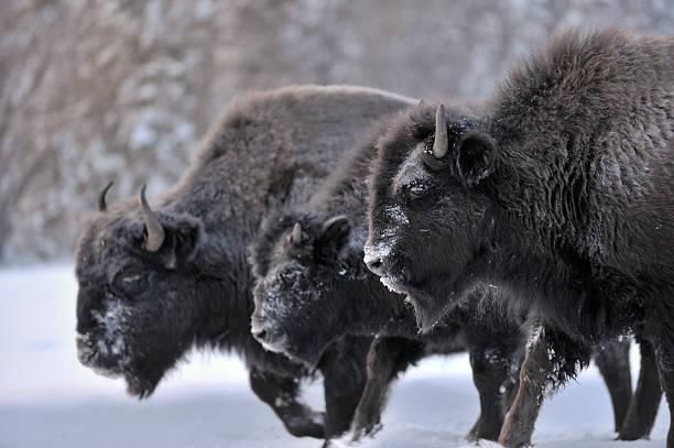 Three Woodland Bison stock photo