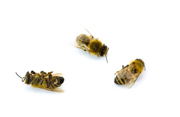 Drei gelbe und schwarze Bees – Foto