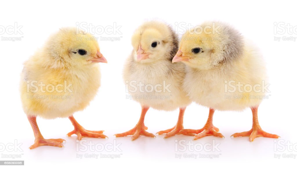 Three yellow chickens. royalty-free stock photo