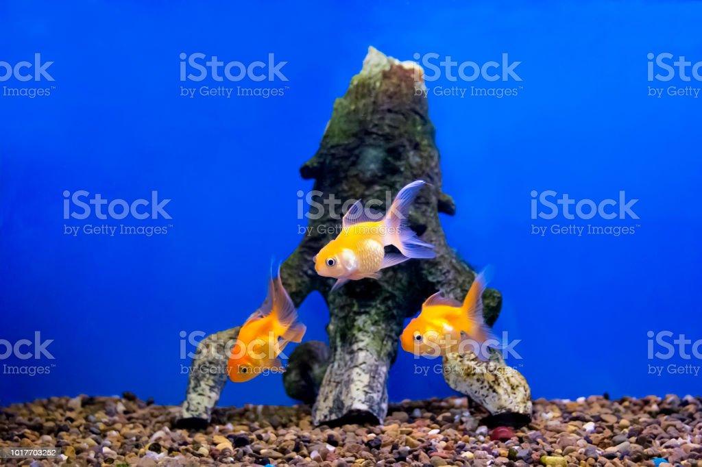 Three yellow parrot fish swimming in aquarium stock photo
