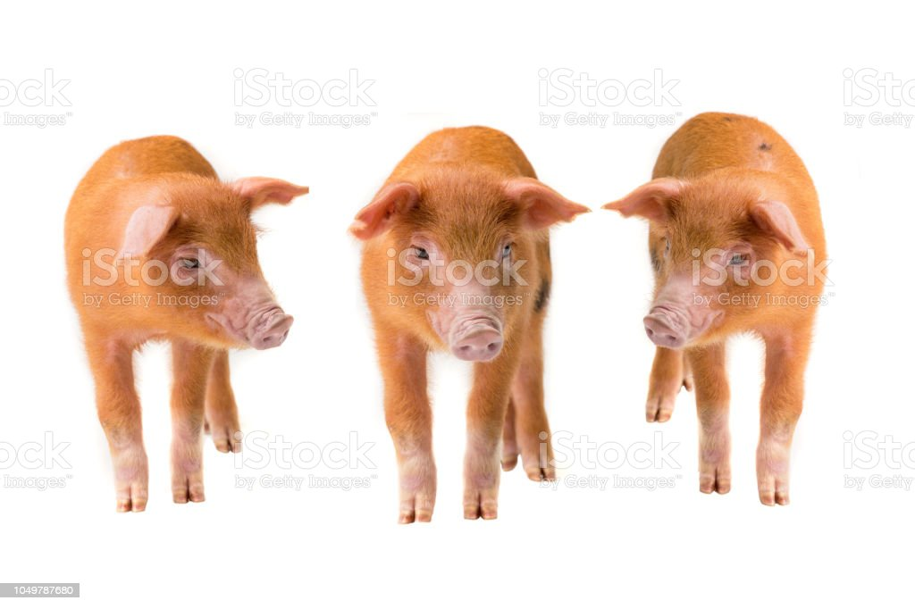 Three Yellow pig isolated on a white stock photo