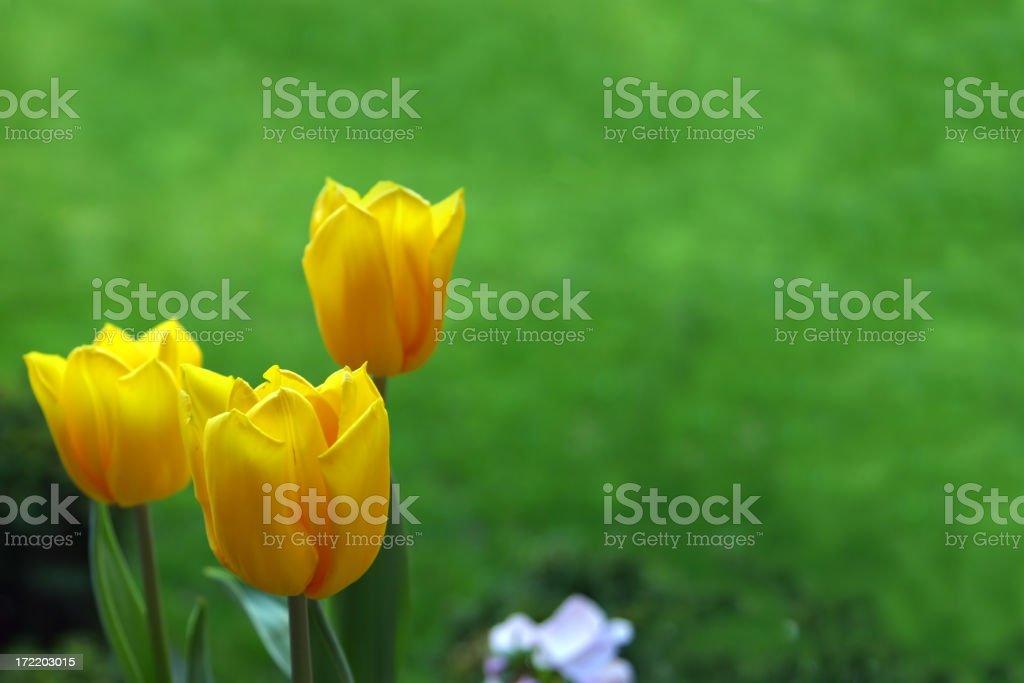 Three Yellow Tulips stock photo