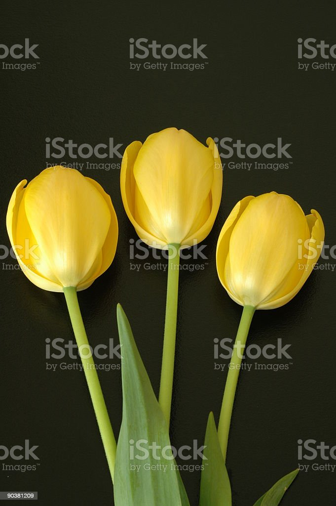 Three yellow tulips royalty-free stock photo