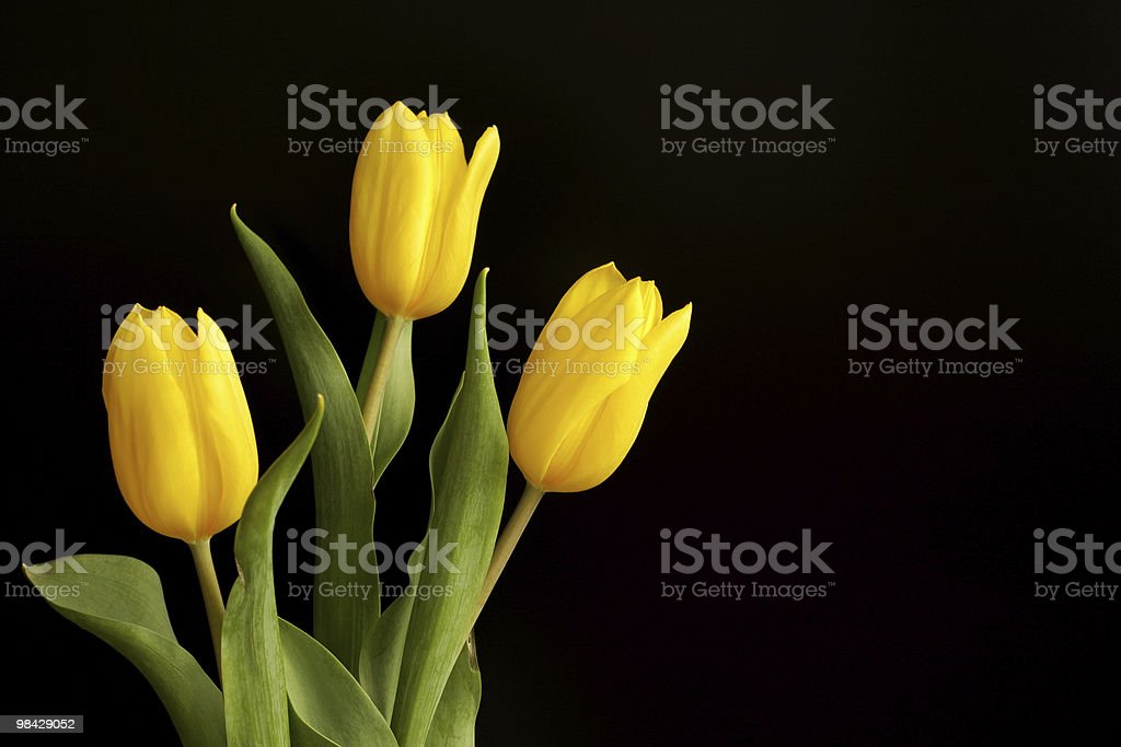 Three yellow tulips royalty-free stock photo