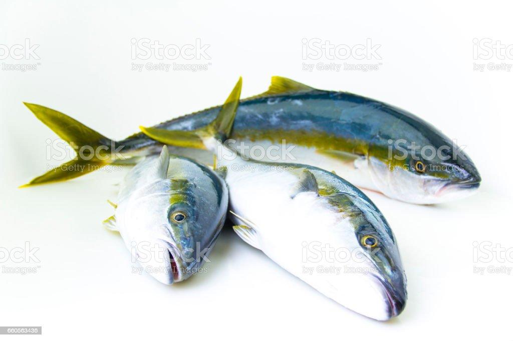 Three Yellowtail Fish stock photo