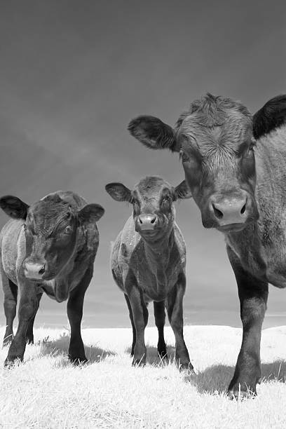Three Young Angus Cows stock photo