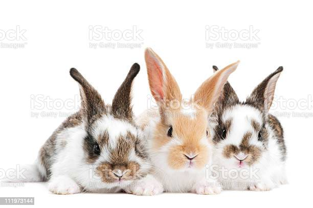 Three young baby rabbit isolated picture id111973144?b=1&k=6&m=111973144&s=612x612&h=ivnitsvyi ei5tinchoirph wqfurijgngof325yqtm=