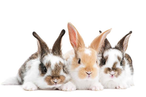 Trois lapin jeune bébé isolé - Photo