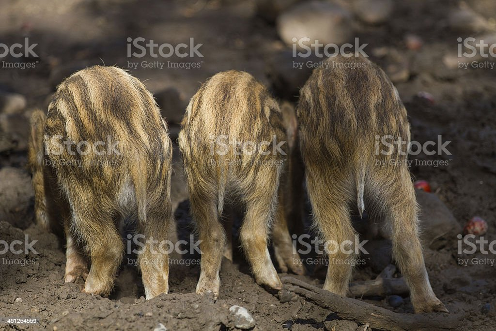 Three young boar pigs from behind stock photo