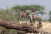 Three young cheetahs survey the landscape from a tree looking around to see if they can spot their mother in northern Kenya.