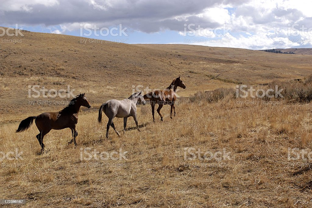 Three Young Colts royalty-free stock photo