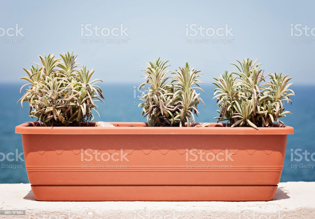 Three young lavender plants in a large box on the balcony stock photo