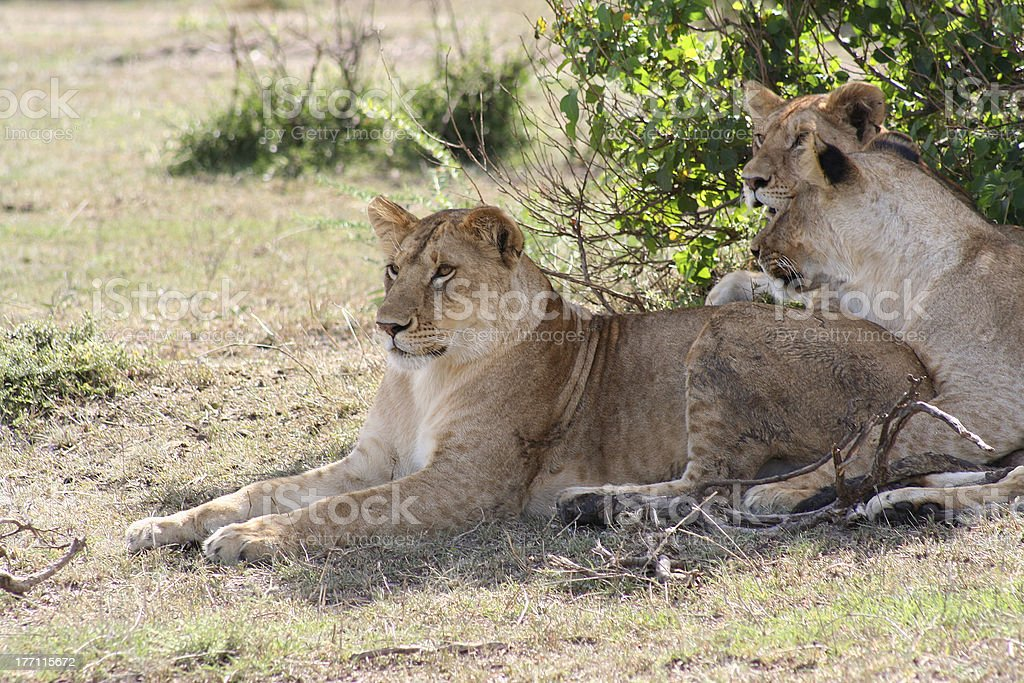 Three young lions royalty-free stock photo
