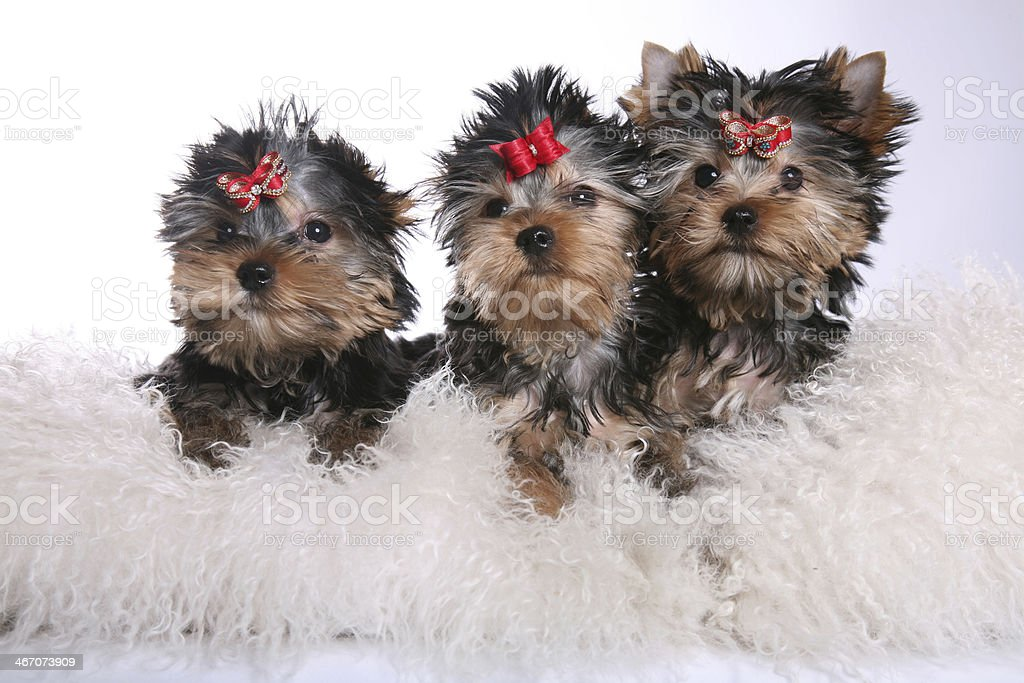 Three Young Yorkshire Terrier Puppies on pillows royalty-free stock photo