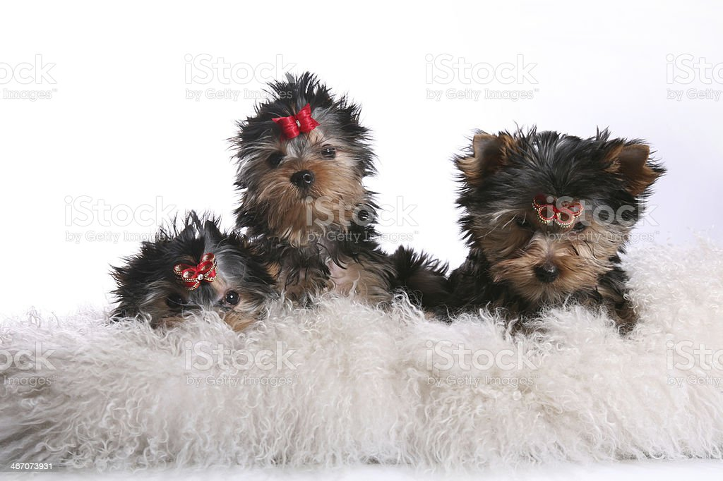 Three Young Yorkshire Terrier Puppies on pillows shy royalty-free stock photo