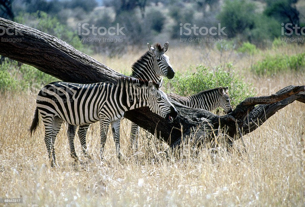 Three zebras and a tree trunk royalty-free stock photo