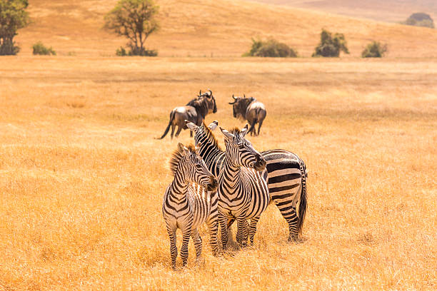 Three Zebras and Two Wildebeest A zebra watches two wildebeest run away while her two friends are entranced, mid morning in the Ngorongoro Crater, Tanzania. wildebeest running stock pictures, royalty-free photos & images