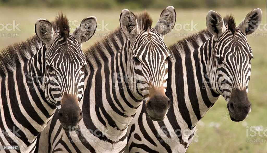 Three zebras in a row looking at the camera royalty-free stock photo