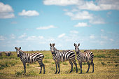 Three zebras standing in a row and staring at camera, Serengeti National Park in Tanzania.