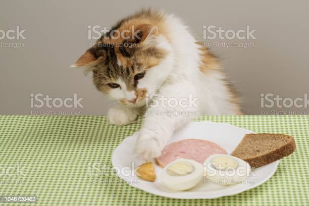Threecolor domestic cat steals food from a plate on table picture id1046720462?b=1&k=6&m=1046720462&s=612x612&h=gyrq4b vjye50eotqoiwuvq56wlqabfhxubbouhzpzm=
