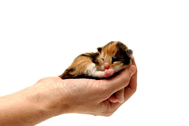 Three-coloured kitten lying in hand isolated on white background stock photo