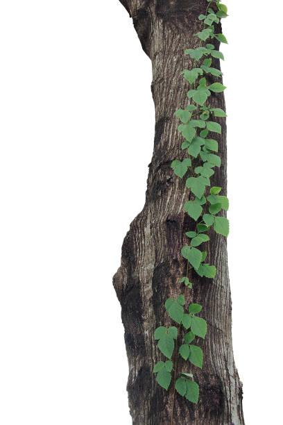 Threeleaved wild vine or bush grape jungle liana plant climbing on picture id904798728?b=1&k=6&m=904798728&s=612x612&w=0&h=j hxn t7fsyhurczmy41sobrn8otwch7c3y1ha2sagq=