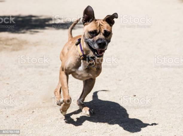 Threelegged boxer mix running at a park the amanda collection picture id820784158?b=1&k=6&m=820784158&s=612x612&h=tlbl dcea619dfyagbafr1nspbugjm2gvfjchpkshya=