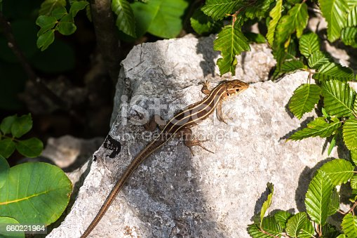 Three-lined small lizard on stone and green leafs around. A close up view of brown lizard with three lines on back warming up his body on rock in bright sunny day