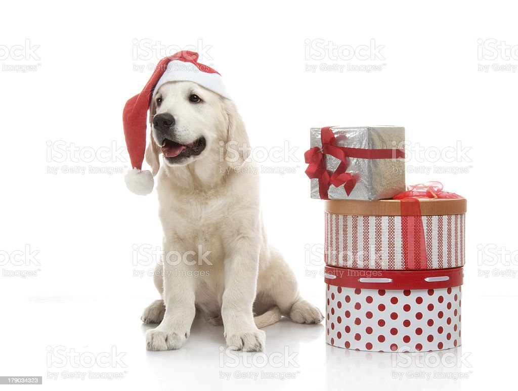 Three-month golden retriever puppy in a red Santa Claus hat royalty-free stock photo