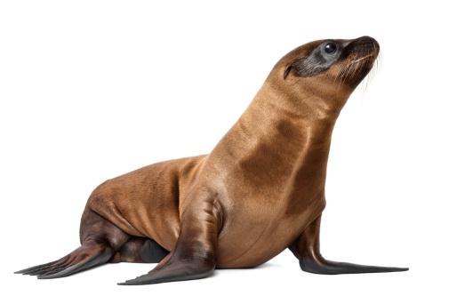 A California sea lion swims into the blue near an offshore oil platform near Long Beach, California.